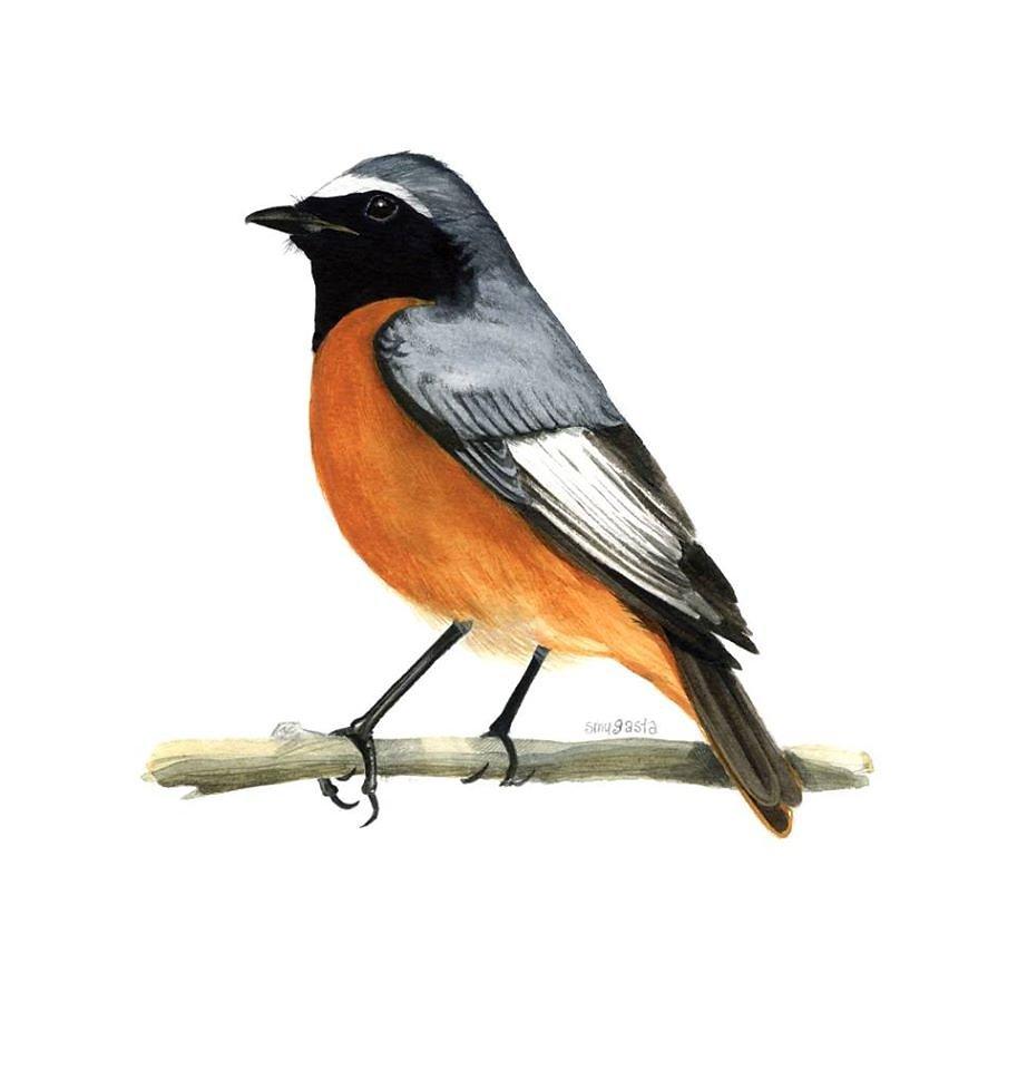 Common redstart male