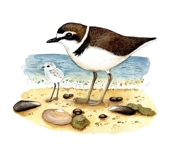 Kentish plover (Charadrius alexandrinus)