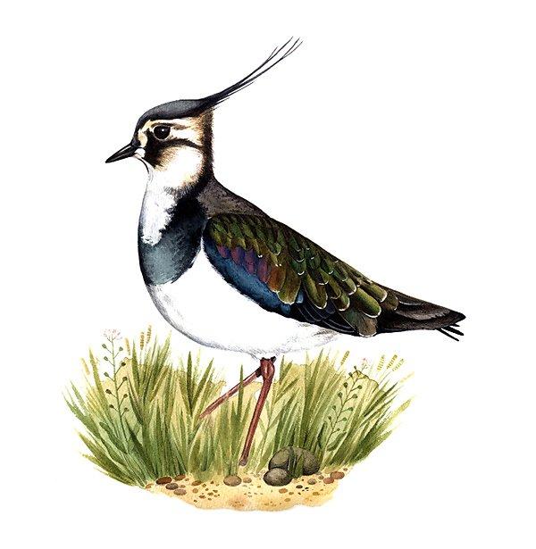 Northern lapwing (Vanellus vanellus)
