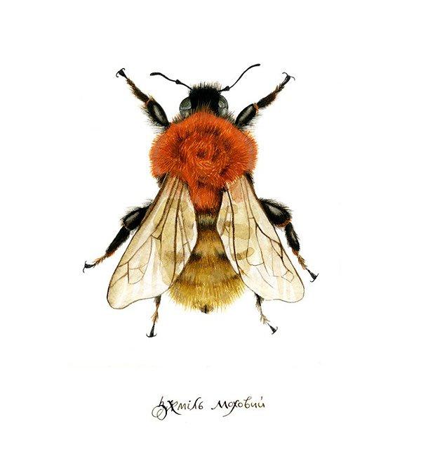 Moss Carder Bee (Bombus Muscorum)