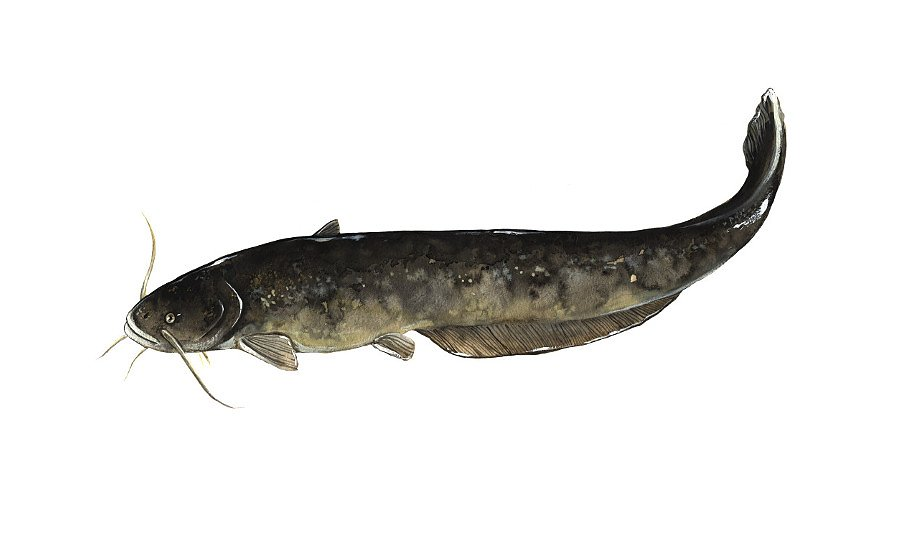 Welsh catfish