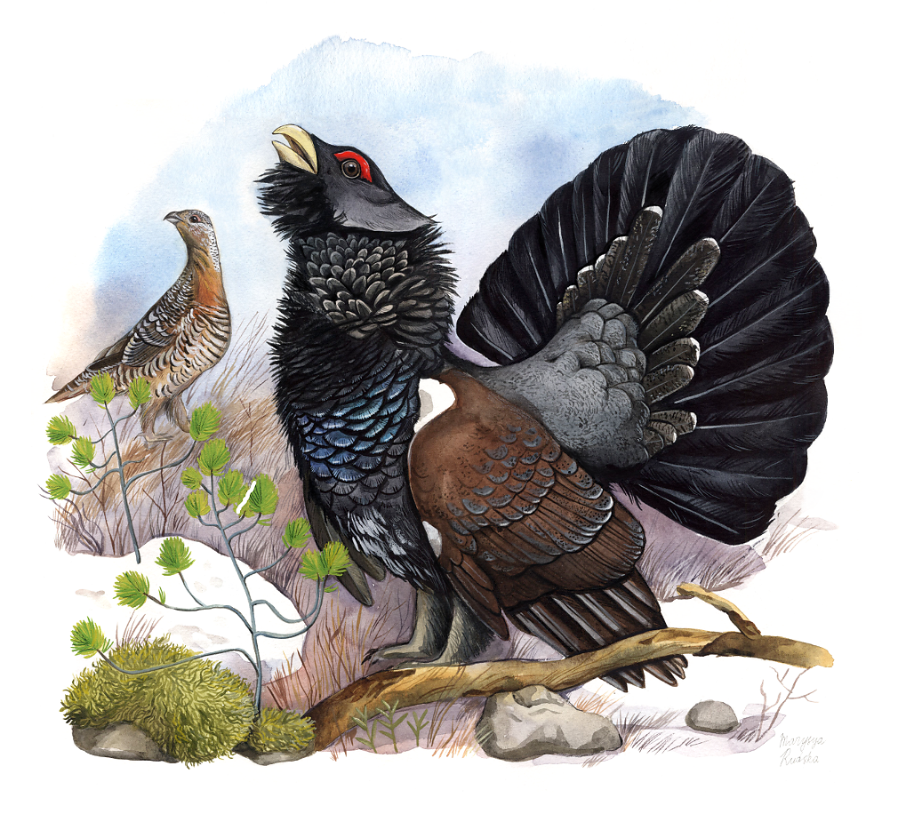 Western capercaillie (Tetrao urogallus)