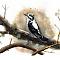 Eurasian three-toed woodpecker (Picoides tridactylus)