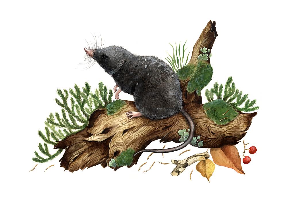 Alpine shrew (Sorex alpinus)