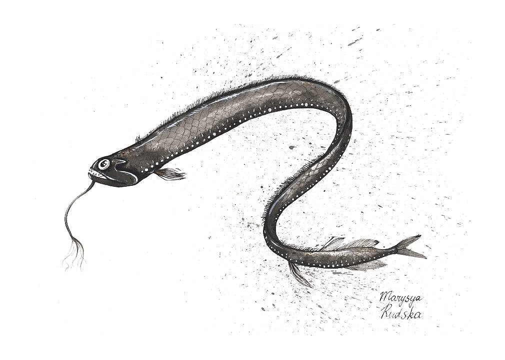 Gunther's Boafish (Stomias Affinis)