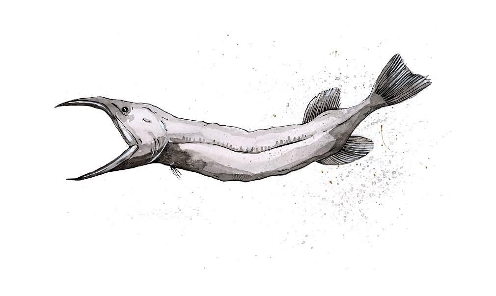 Savage's Bird-Snouted Whalefish (Rhamphocetichthys Savagei)