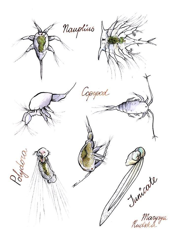 Gnathophausia zoea