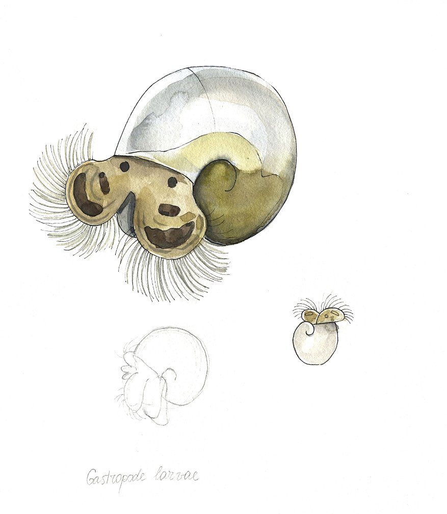 Gastropod Larvae