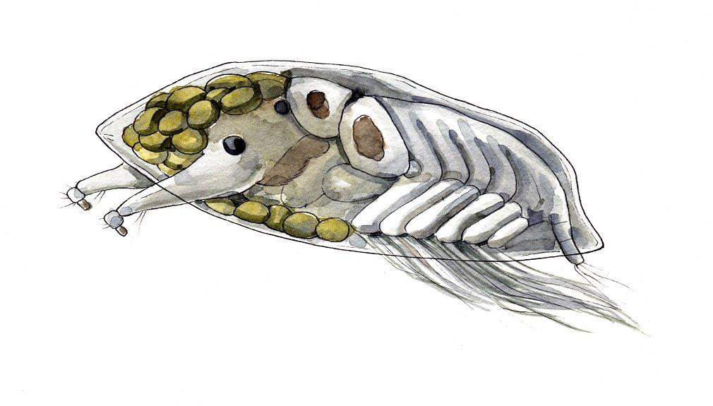 Barnacle larvae