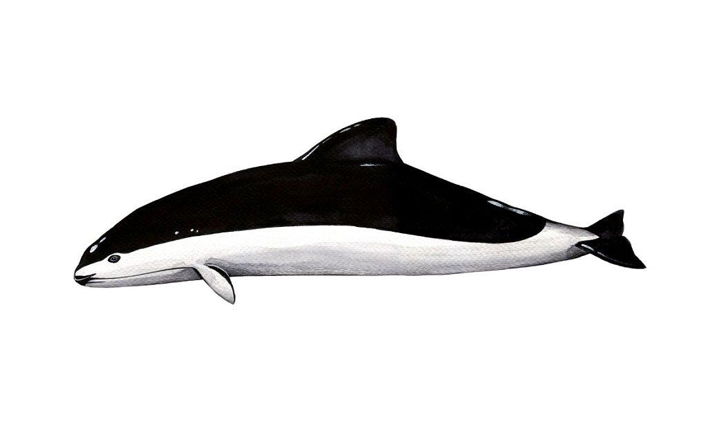 Spectacled Porpoise