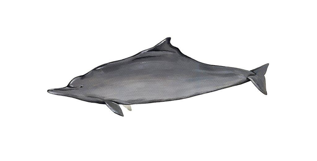 Atlantic humback dolphin
