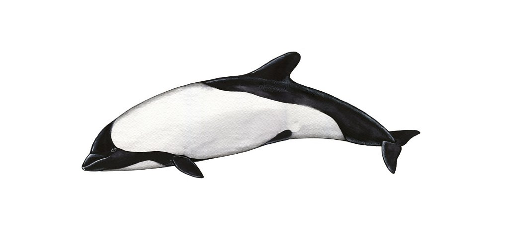 Commerson Dolphin