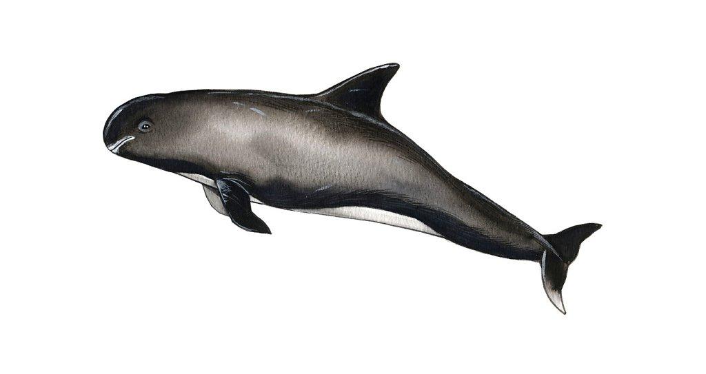 Pygmy False Killer Whale