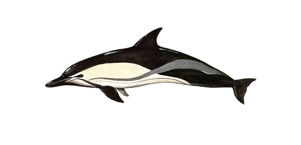 Shortbeaked dolphin