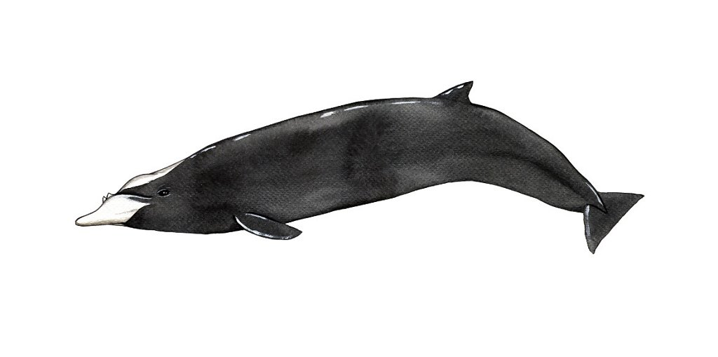 Hubb's Beaked Whale