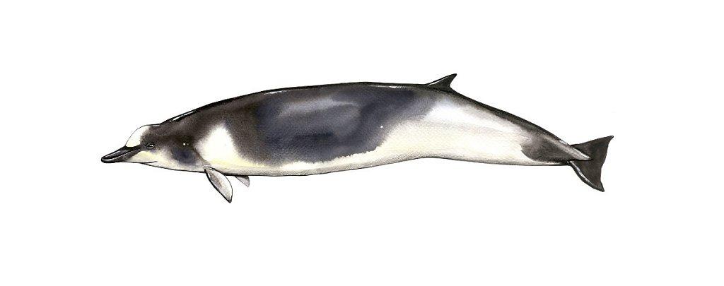Shepher's beaked whale