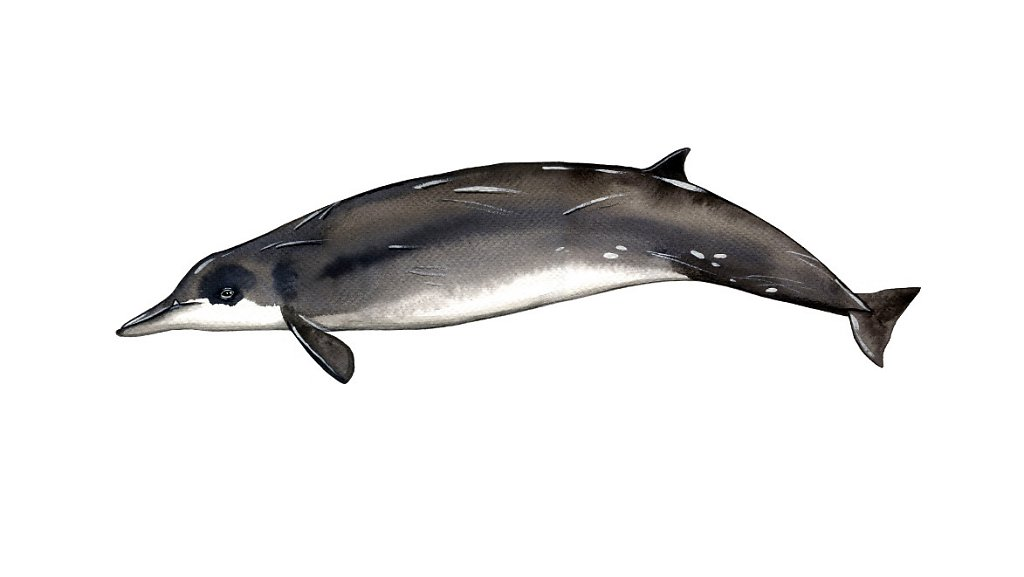 Sowesby's Beaked Whale