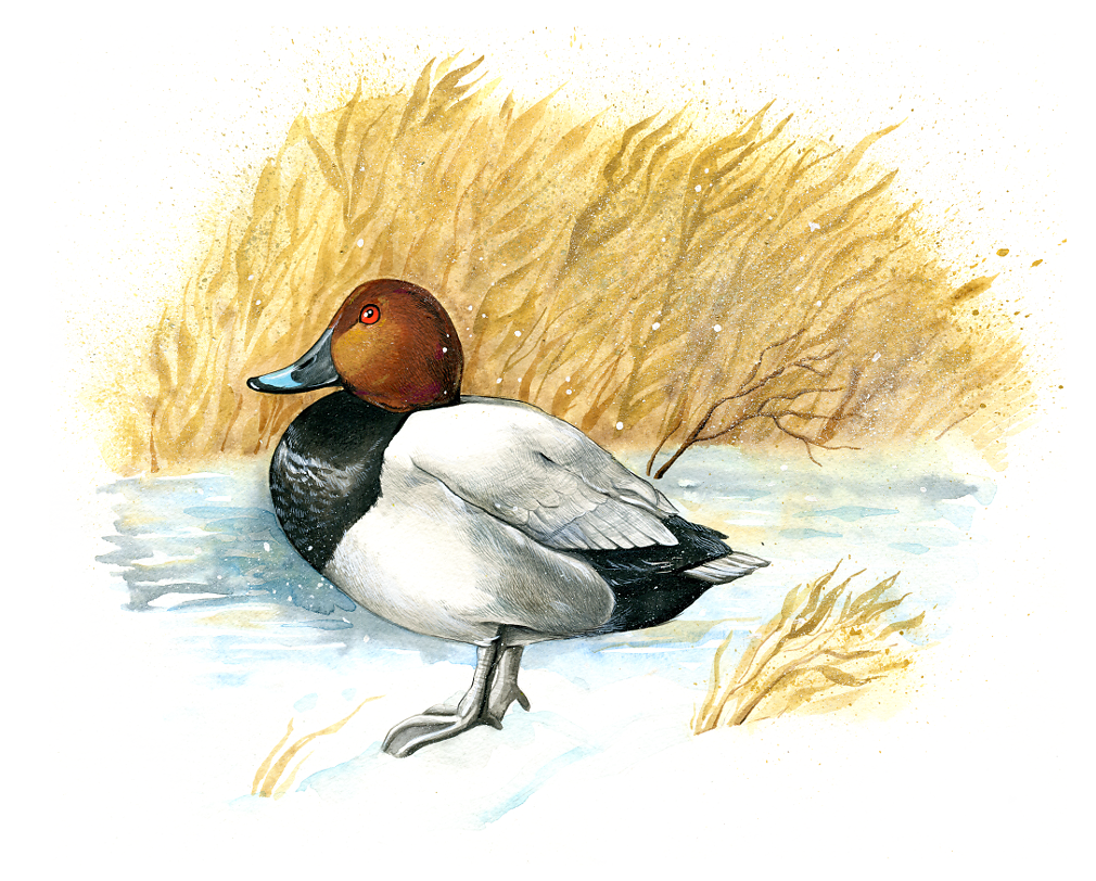 Common pochard (Aythya ferina)