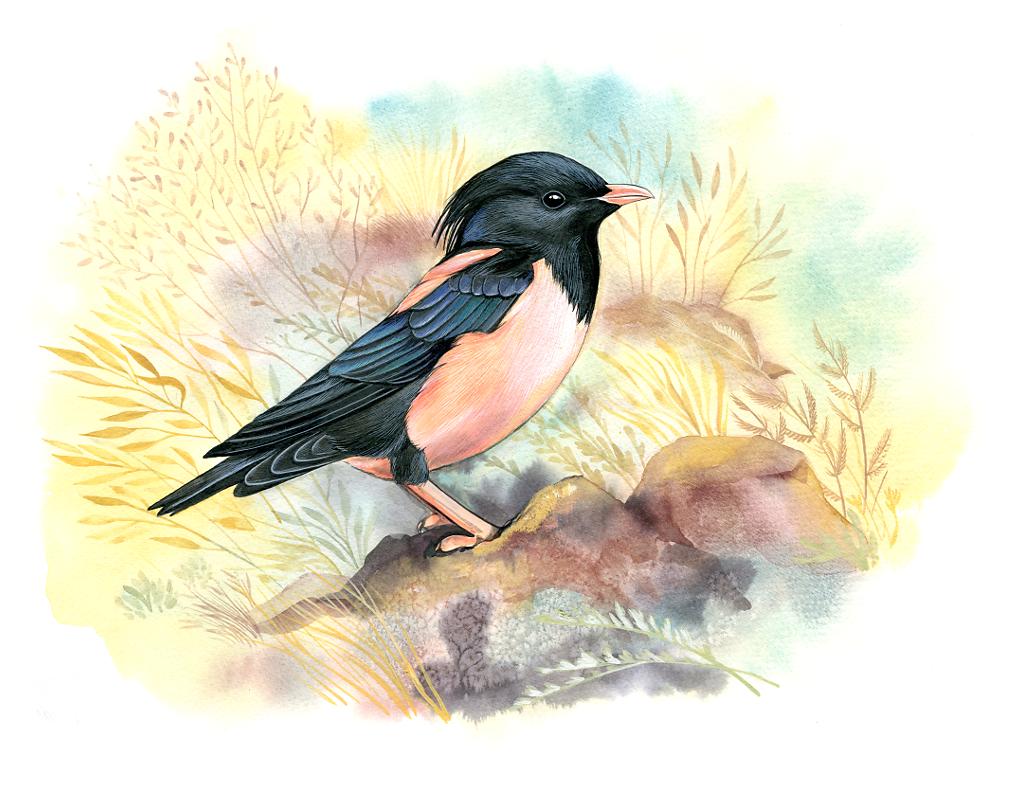 Rosy starling (Sturnus roseus)