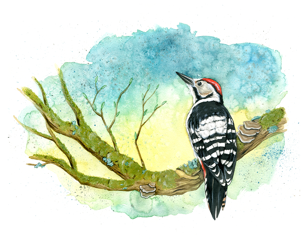 White-Backed Woodpecker ((Dendrocopos Leucotos)