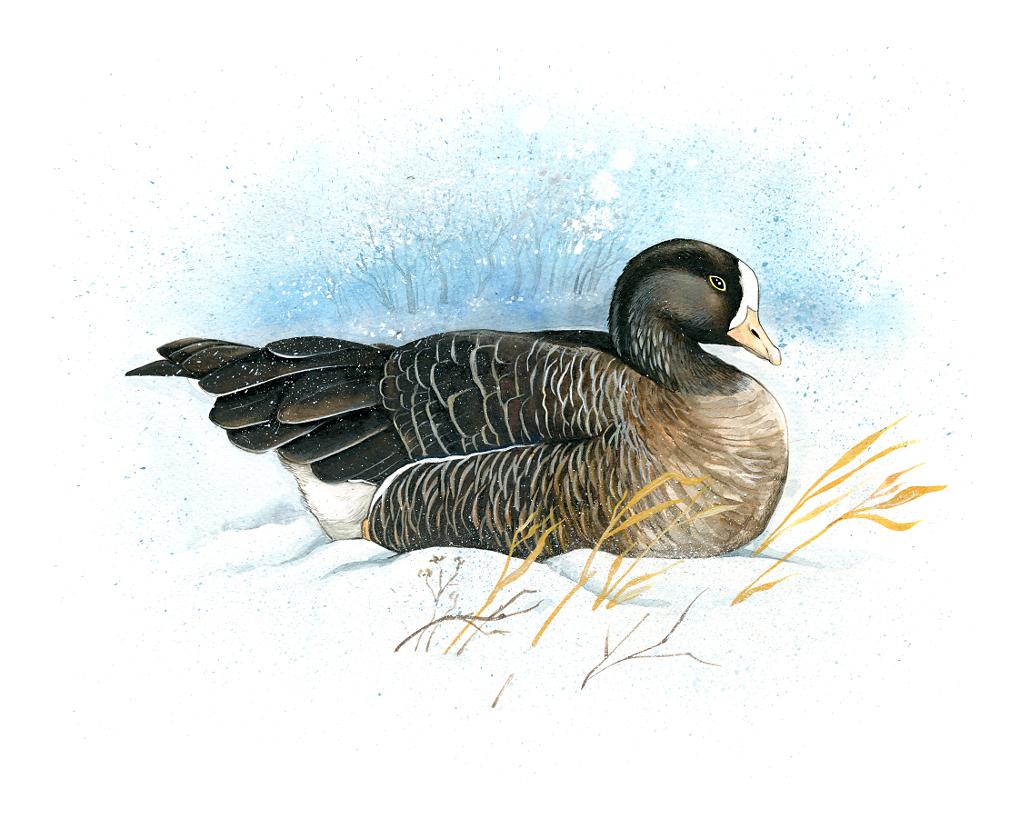 Lesser White-Fronted Goose (Anser Erythropus)