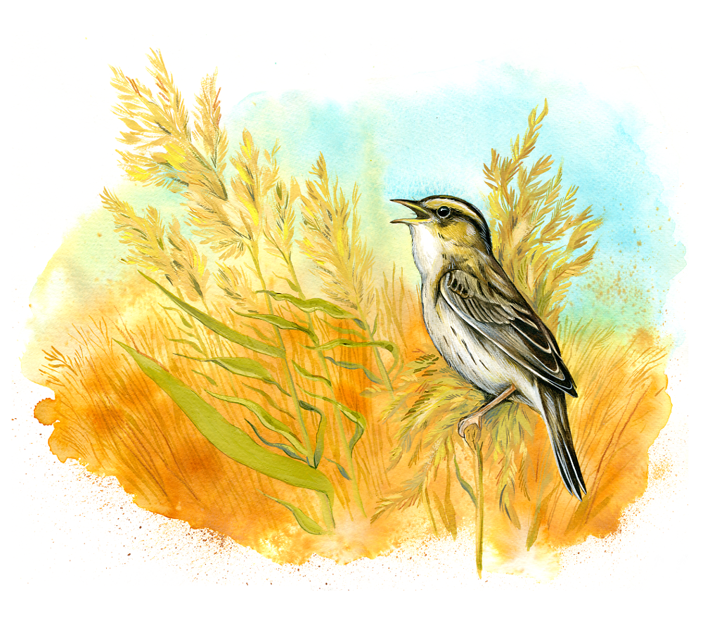 Aquatic warbler (Acrocephalus paludicola)