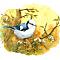 Azure tit (Cyanistes cyanus)
