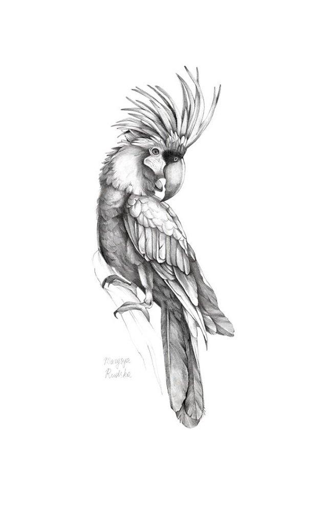 Palm Cockatoo ( Probosciger Aterrimus)